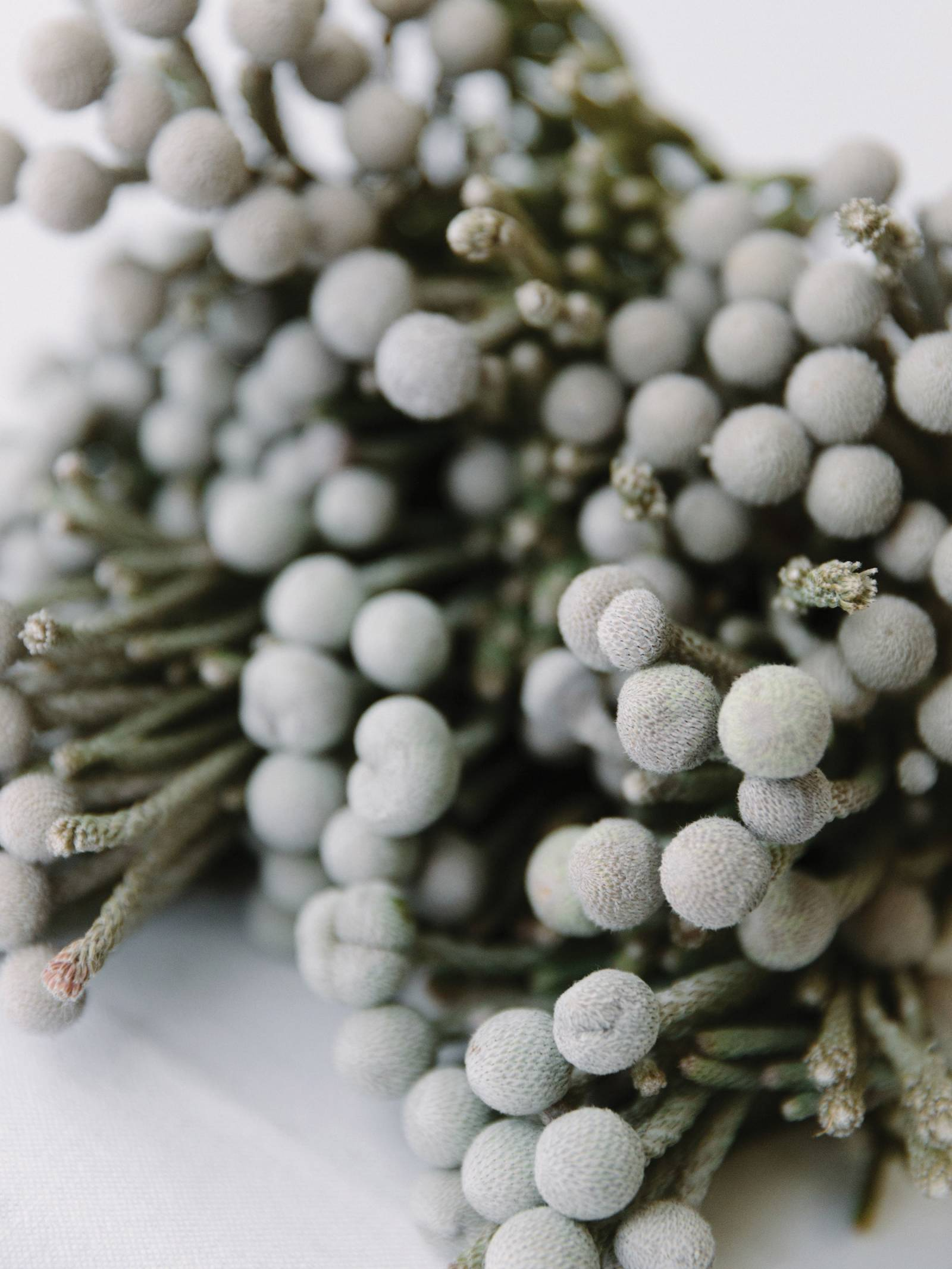 silvery brunia berries