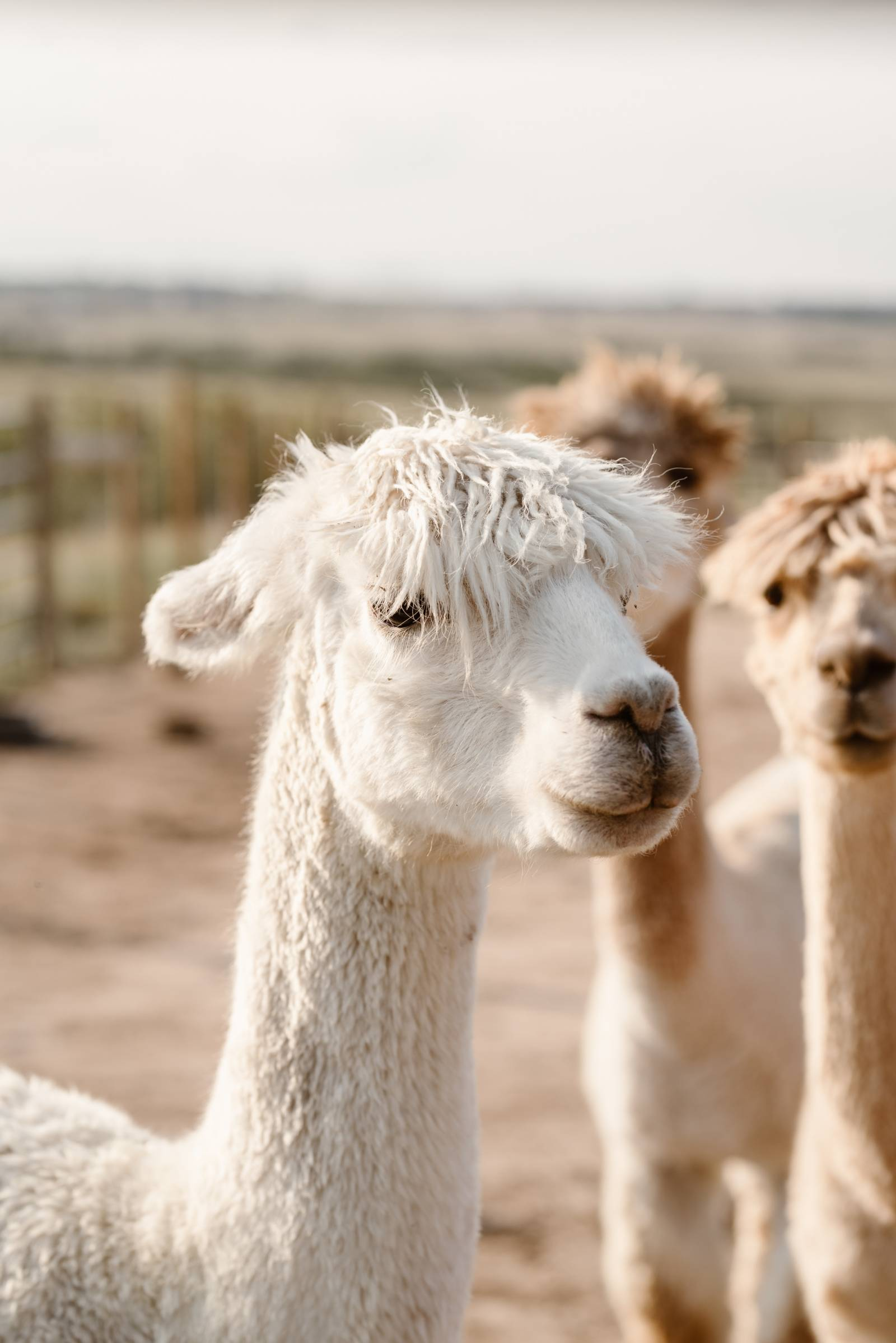 alpacas at a wedding