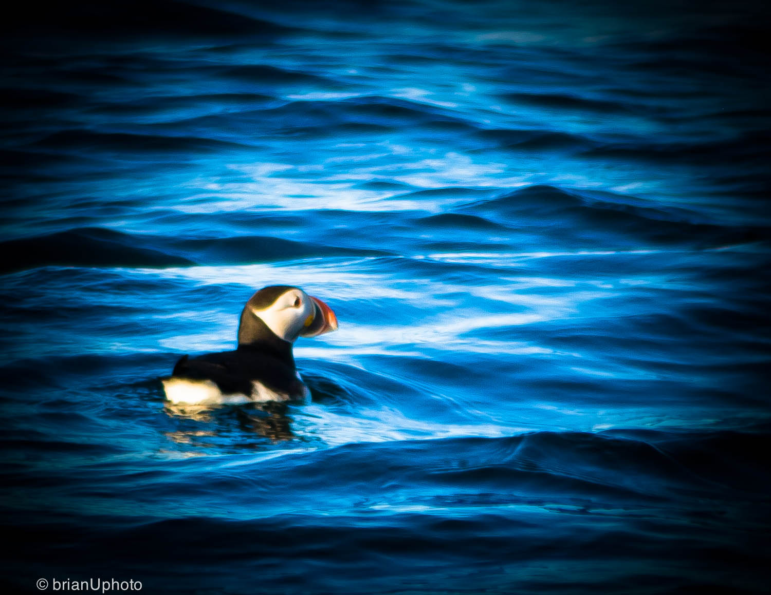 Bird Island, Lone Puffin, Nova Scotia